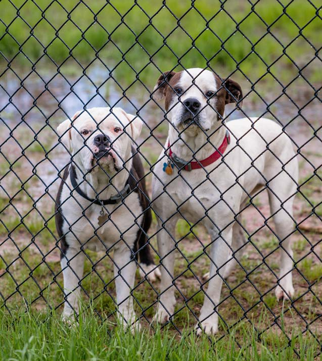 couple of dogs behind fence